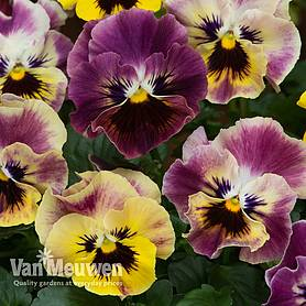 Viola 'Frizzle Sizzle Fire Mixed'