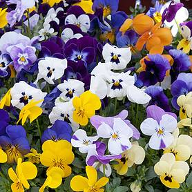 Viola 'Sorbet Mix' (Pre-planted Hanging Basket)