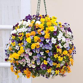 Viola 'Teardrops Mixed' (Pre-planted Hanging Basket)