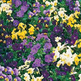 Viola 'Supreme Mix' (Seeds)
