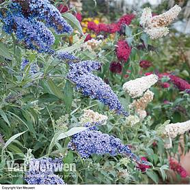 Buddleja 'Buzz®' Collection