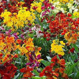 Wallflower 'Persian Carpet Mix' (Seeds)