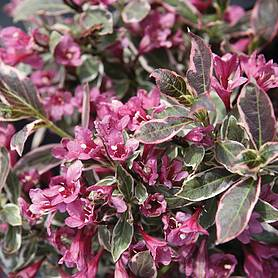 Weigela florida 'Monet'