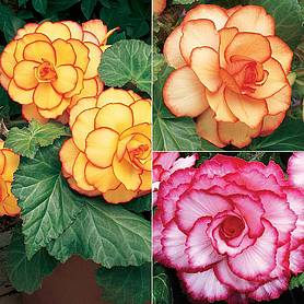 begonia x tuberhybrida giant picotee mixed