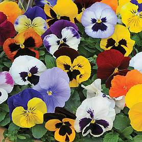 pansy matrix mix garden ready
