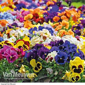 pansy matrix mix preplanted hanging basket