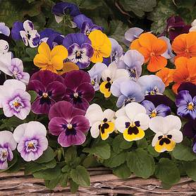 viola autumn jewels mixed garden ready