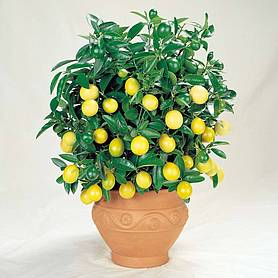 citrus tree complete collection