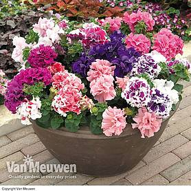 petunia orchid flowered mix garden ready