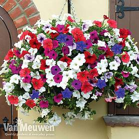 petunia trailing surfinia mixed