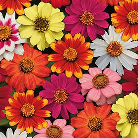Zinnia 'Zahara' Single-flowered Mix (Garden Ready)