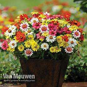 zinnia zahara singleflowered mix garden ready