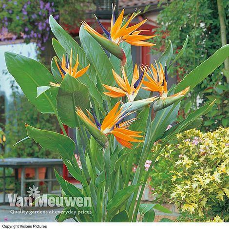 bird of paradise flower van meuwen