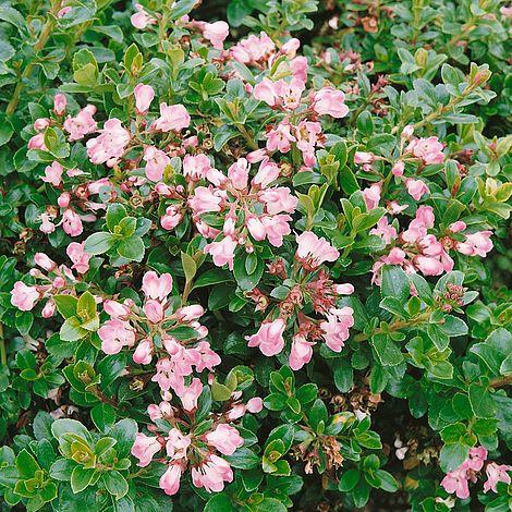 Escallonia 39 apple blossom 39 van meuwen for Small hardy trees