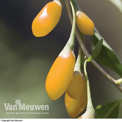 Goji Berry Amber Sweet Van Meuwen