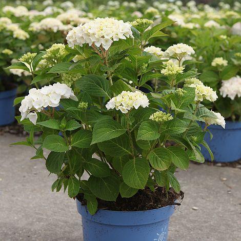 hydrangea macrophylla 39 endless summer blushing bride. Black Bedroom Furniture Sets. Home Design Ideas