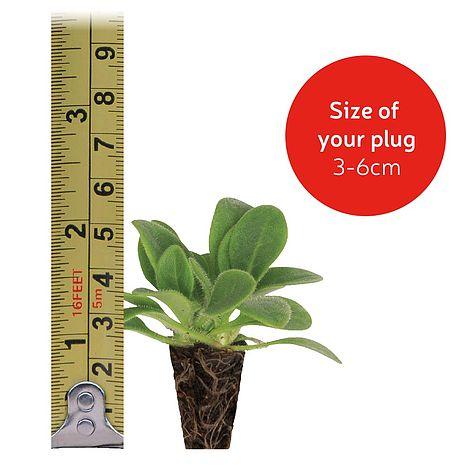 WallFlower Sugar Rush Mixed Mini Plug Plants x 12 for Potting on