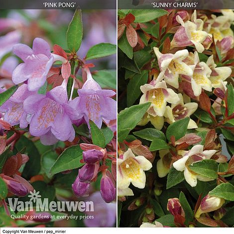Abelia Collection Van Meuwen