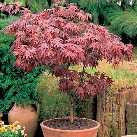 Acer Palmatum Atropurpureum Van Meuwen