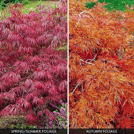 Acer Palmatum Var Dissectum Rubrum Van Meuwen