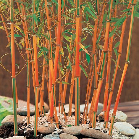 Bamboo Red Fountain Van Meuwen
