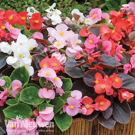 Begonia Inspiration Van Meuwen