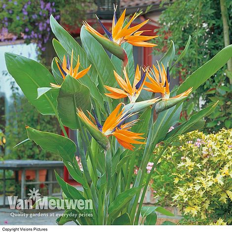 Bird Of Paradise Flower Van Meuwen