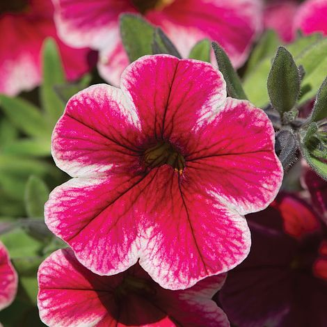 Calibrachoa Crave Strawberry Star Van Meuwen