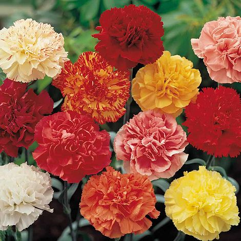 905ed7a66c36 Dianthus  Ever Blooming Mix Carnation