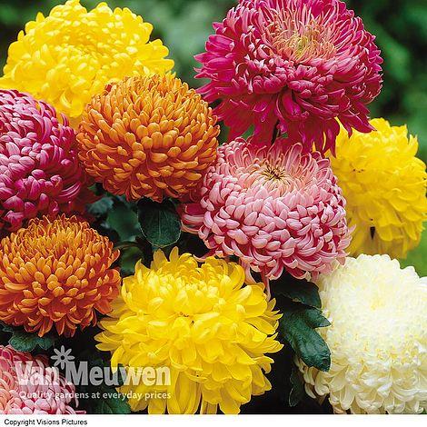 Chrysanthemum Incurving Collection Van Meuwen