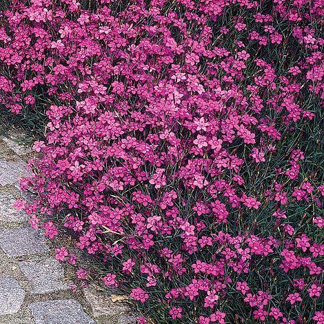 Dianthus Deltoides Maiden Pink Brilliancy Seeds Van Meuwen