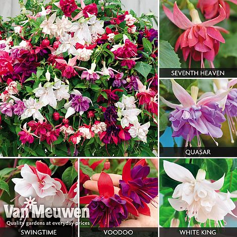 Fuchsia Five Star Giants Collection Van Meuwen