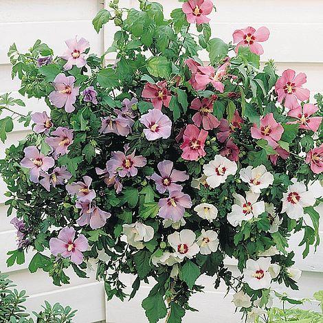 Hibiscus Tricolour Standard Van Meuwen