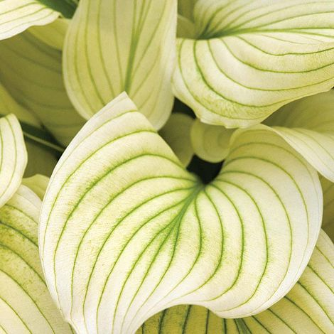 Hosta White Feather Van Meuwen