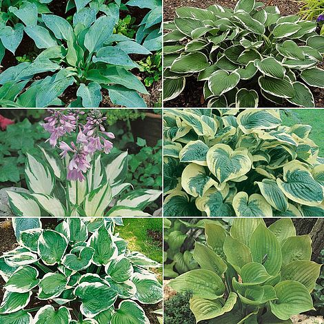 Mixed Hosta Collection Van Meuwen