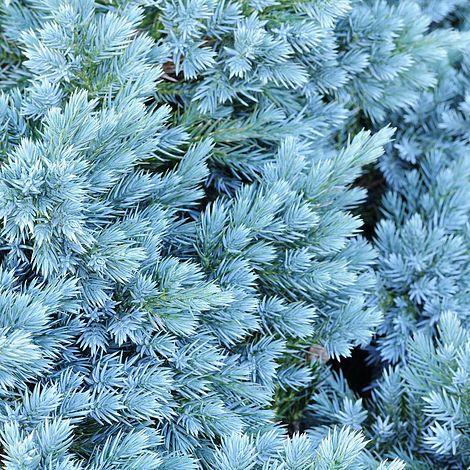 Juniperus Chinensis Blaauw Van Meuwen