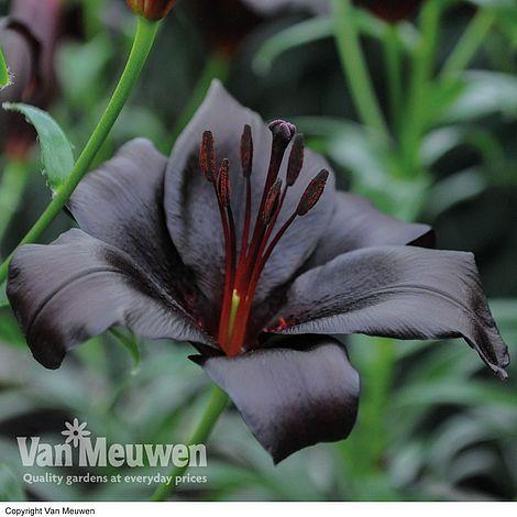 Lily Night Rider Van Meuwen