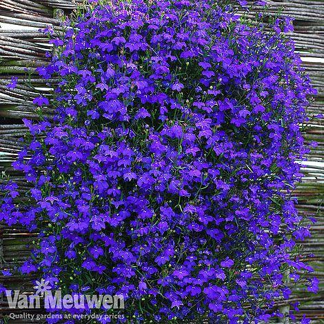 Lobelia Monsoon Van Meuwen