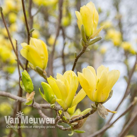Magnolia Yellow Bird Van Meuwen