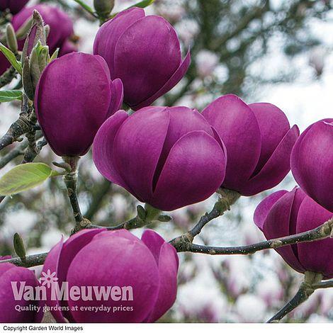 Magnolia Black Tulip Van Meuwen