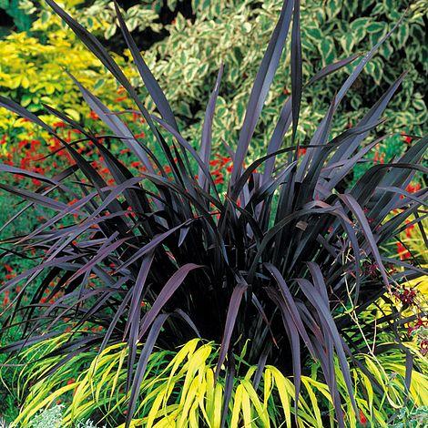 Phormium Black Velvet Van Meuwen