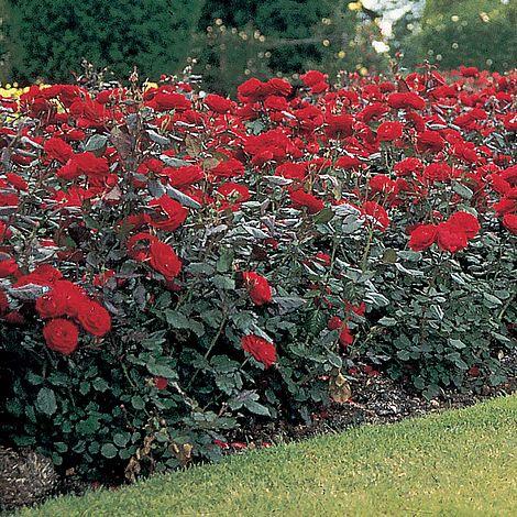 Rose Stromboli Van Meuwen