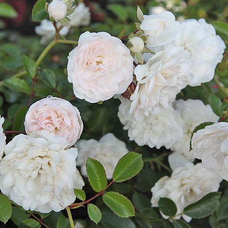 rose 39 sea foam 39 shrub rose van meuwen. Black Bedroom Furniture Sets. Home Design Ideas