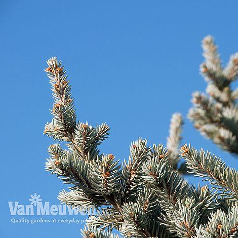 Fraser Fir Tree Van Meuwen