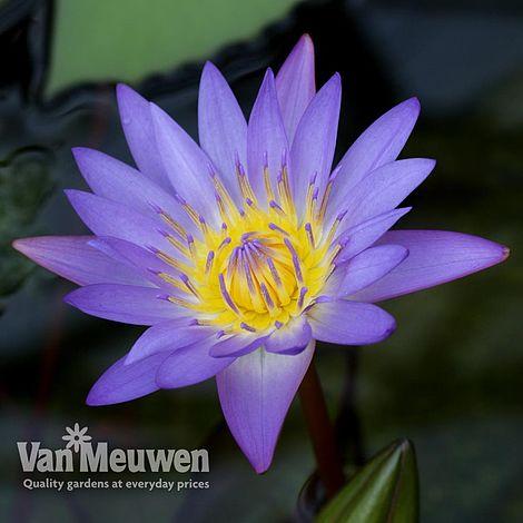 Water Lily Blue Van Meuwen