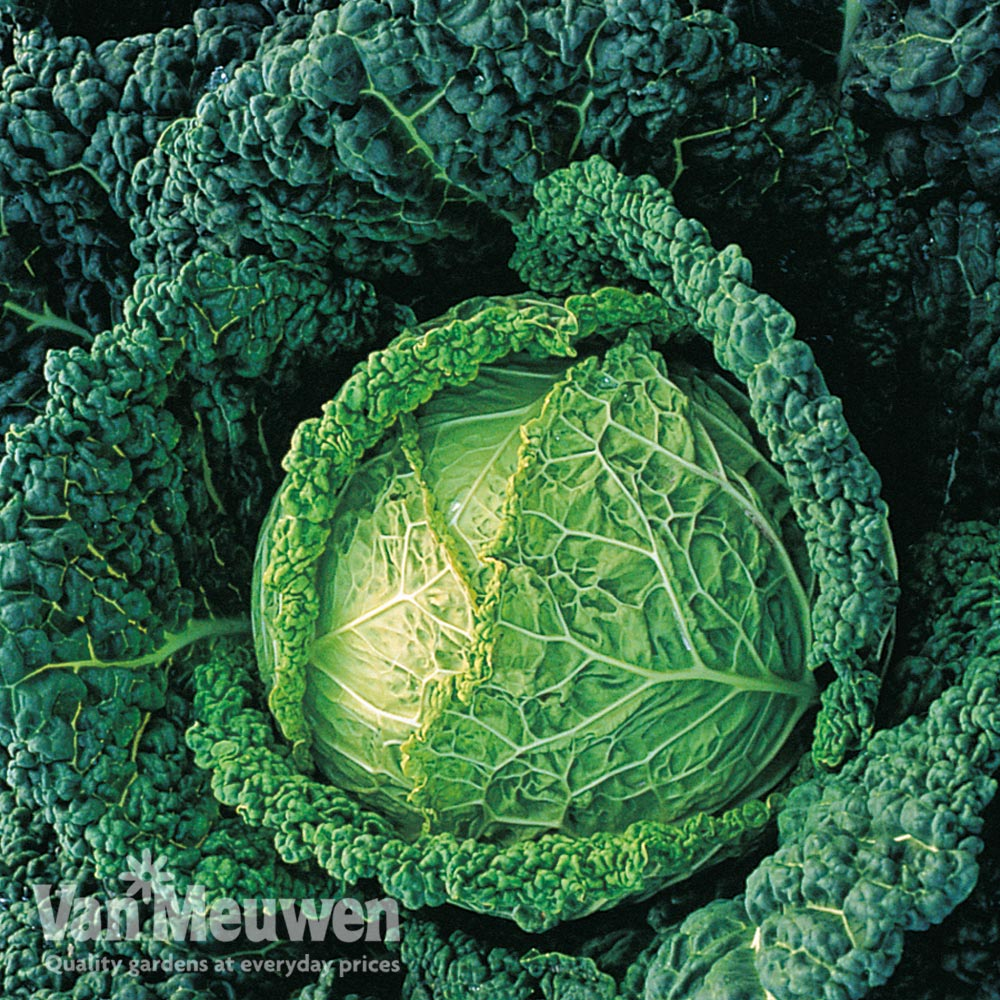 Image of Cabbage 'Endeavour' F1 hybrid (Winter Savoy)
