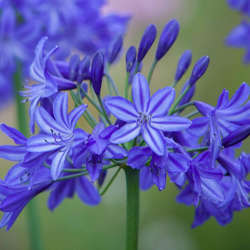 Agapanthus northern star van meuwen agapanthus northern starafrican blue lily izmirmasajfo