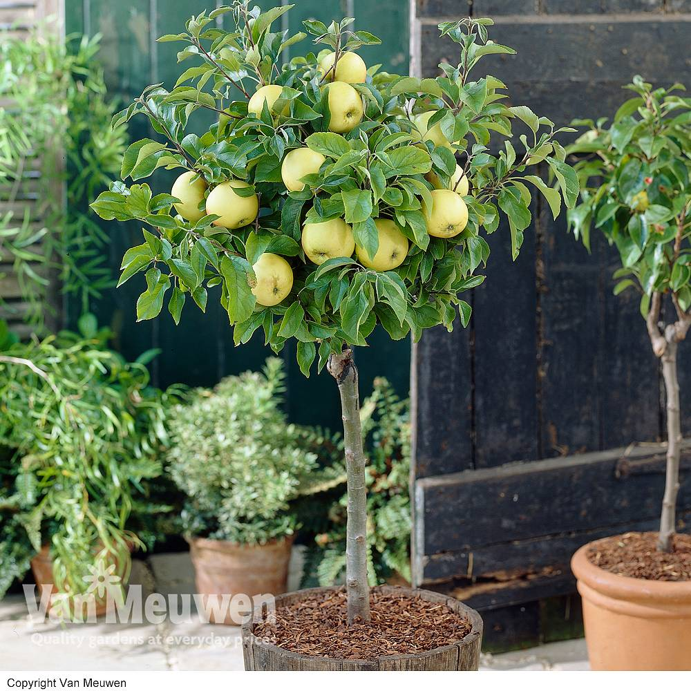 apple u0027golden mini fruit tree