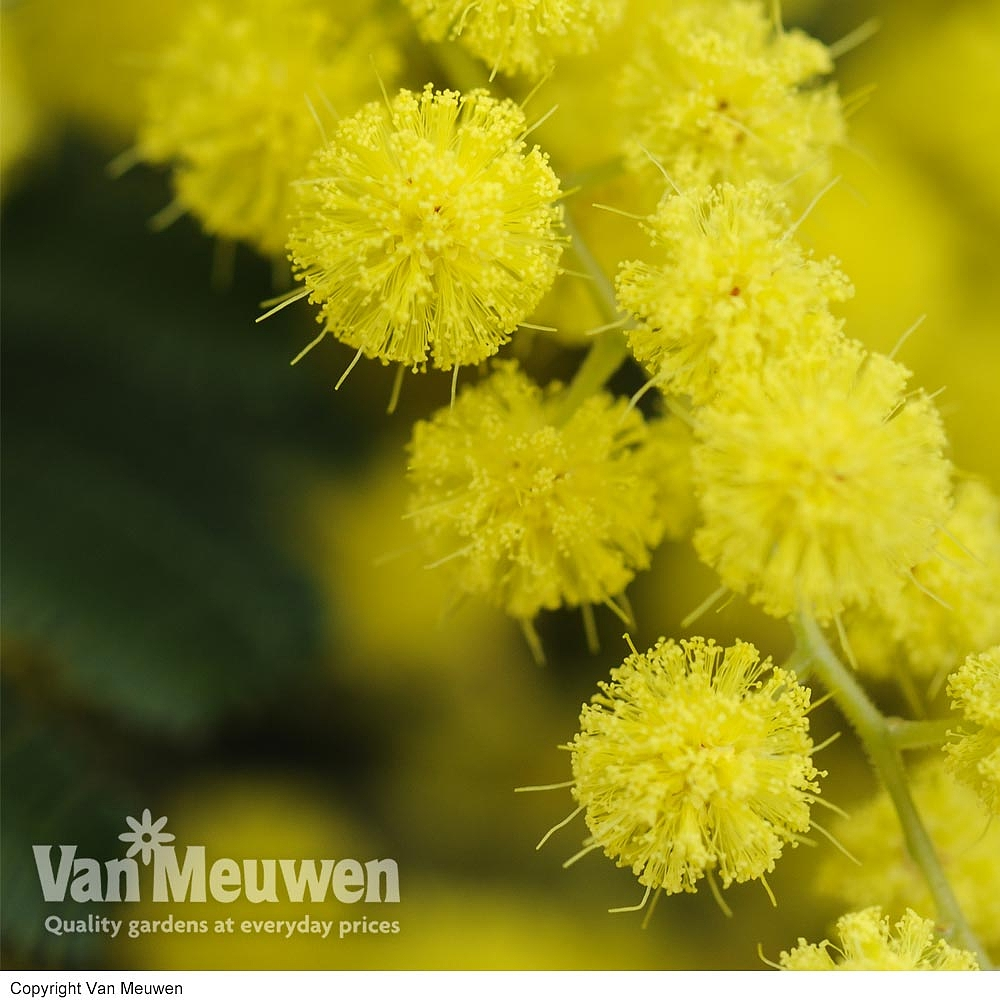 Acacia Dealbata Flowering Season Flowers Healthy