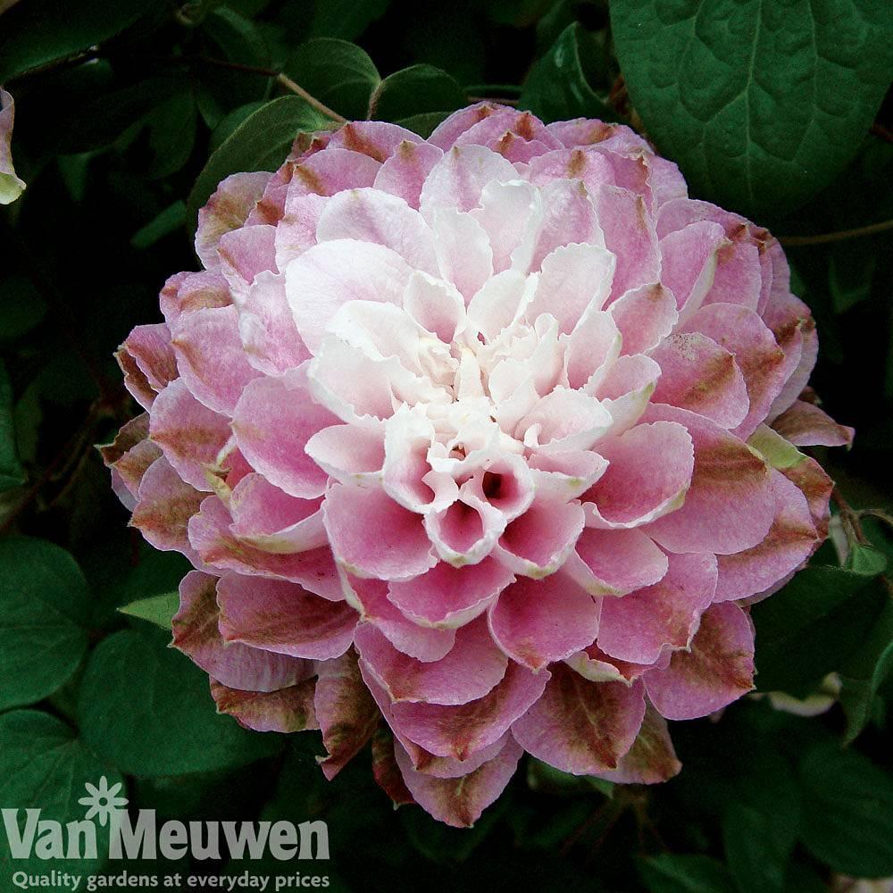 Clematis Dancing Smile Van Meuwen
